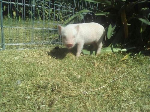 cerdito mini pig