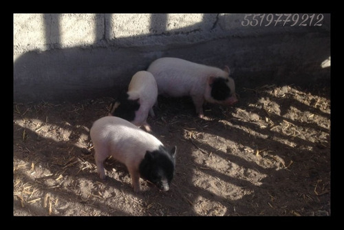 cerdito mini pig color moteado