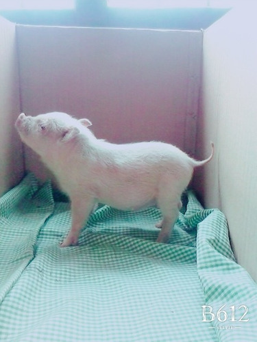 cerdito mini pig rosa