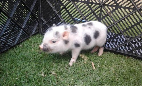 cerditos mini pig