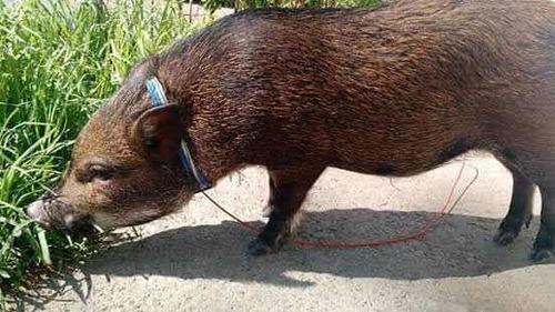 cerditos mini pig legítimos