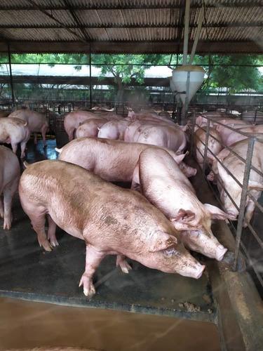 cerdos raza landrace