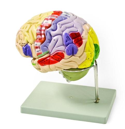 cerebro humano con código de colores - 4 piezas vision scien