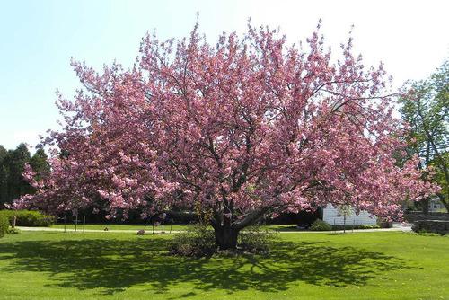 cereja gigante verdadeira fruta bonsai  sementes para mudas