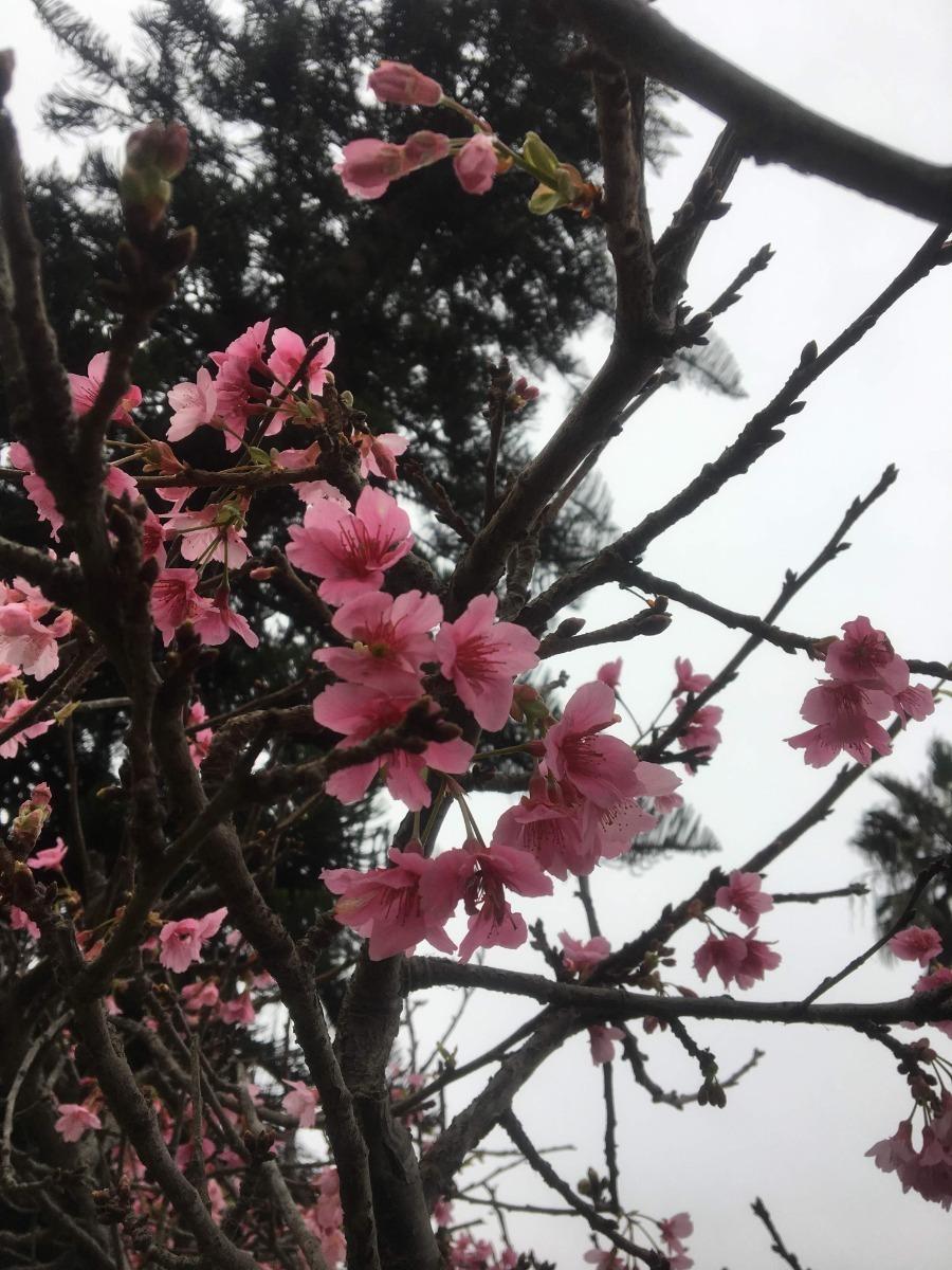 Arbol De Cerezo Japones cerezo japones (80cm - 99cm) sakura arbol original planta