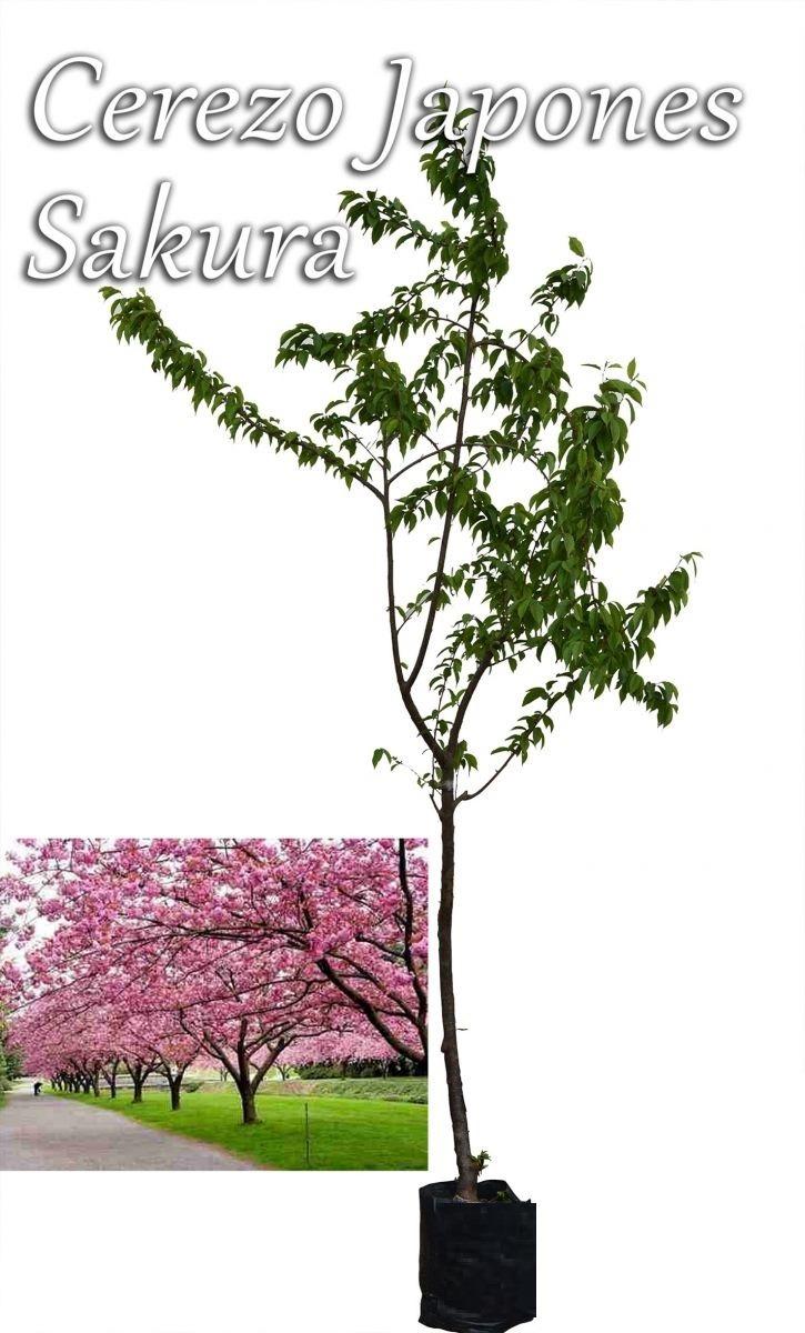 Arbol De Cerezo Japones cerezo japonés, arbol sakura
