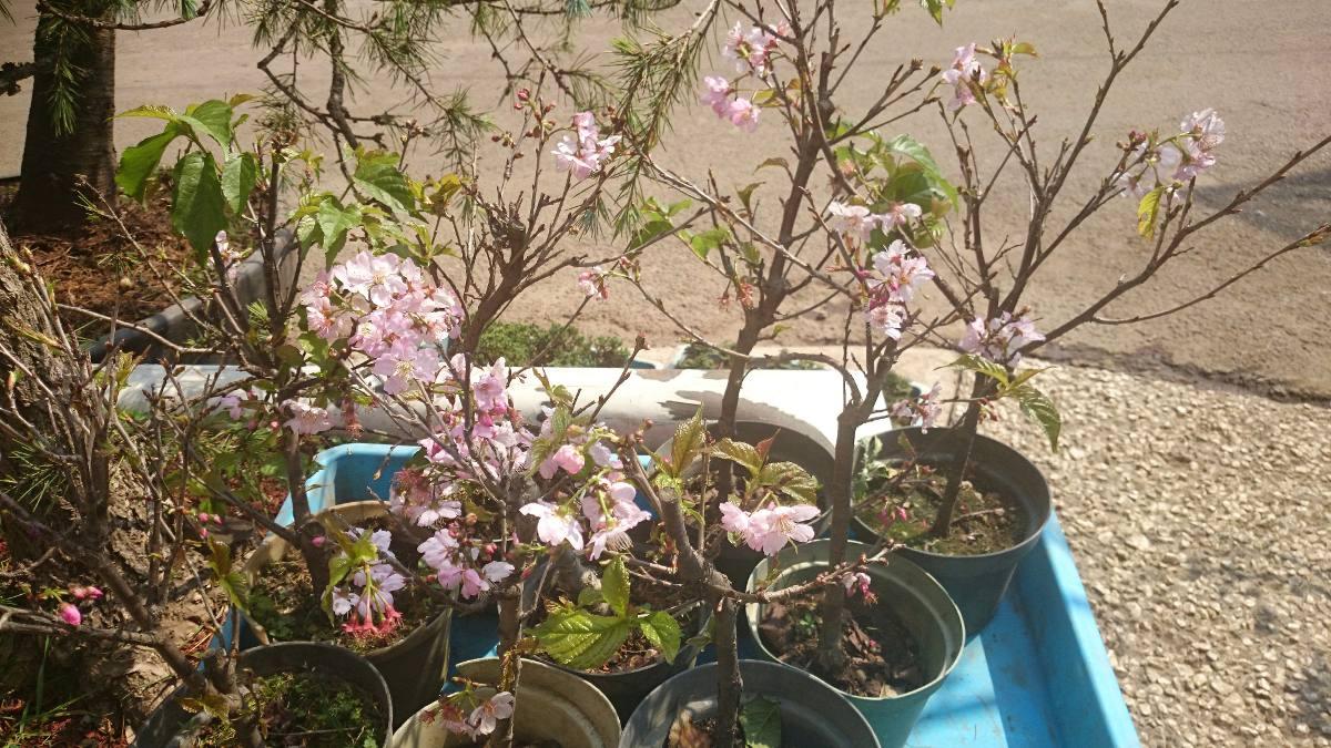Cerezo japones arboles chicos para bonsai y jardin for Arboles para jardin japones