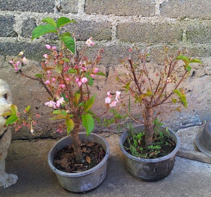 Cerezo japones arboles chicos para bonsai y jardin for Arboles de jardin fotos