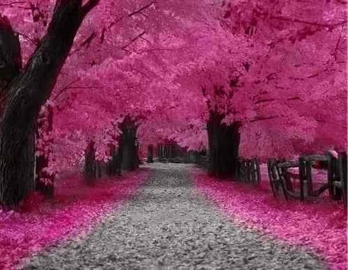 cerezo japones, cerezo de flor, sakura cherry, pack semillas