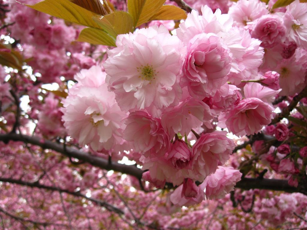 Arbol De Cerezo Japones cerezo japones (prunus serrulata) 10 semillas