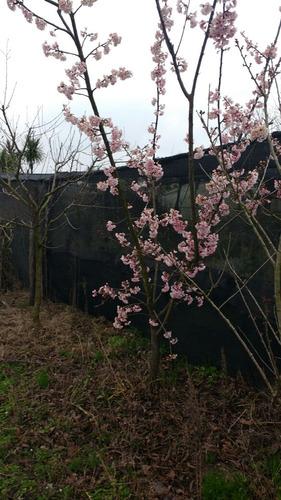 cerezo sakura 2-2,5 m flor rosa simple/doble o combin-envios