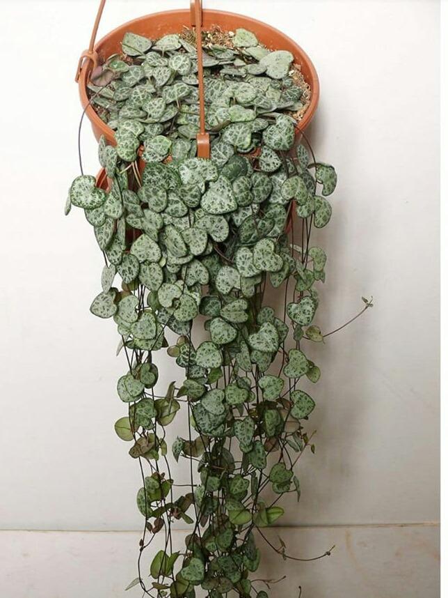 planta colgante collar de corazones