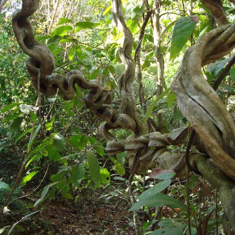 Chá Remedio Caseiro Escada De Macaco Para Pedra No Rinsk3g - R  119 ... d3499e4b15