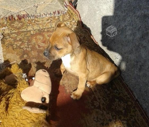 chachorra pitbull