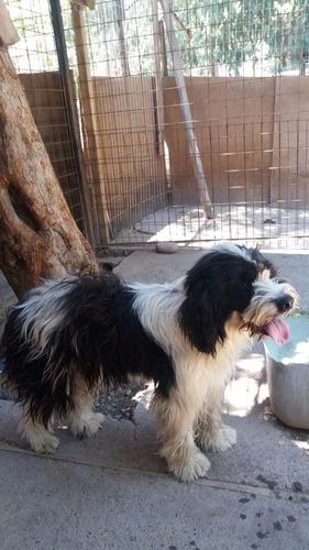 chelito, hermoso perrito en adopcion
