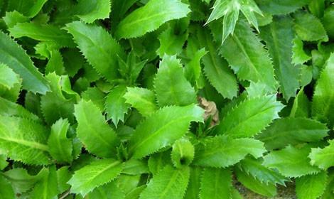 chicória do norte coentrão - culantro - eryngium 40 sementes