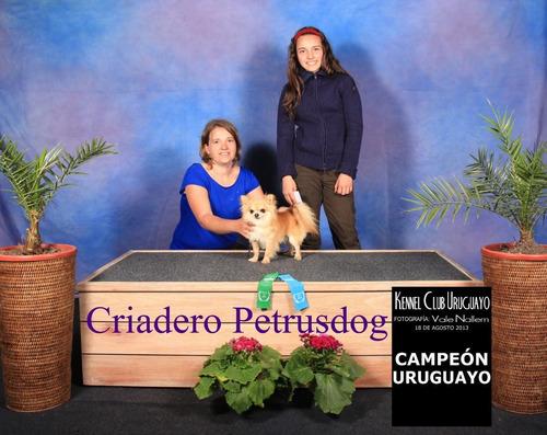 chihuahua con pedigree kennel club uruguay todo el año