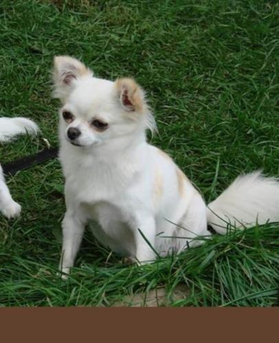 chihuahua macho mini
