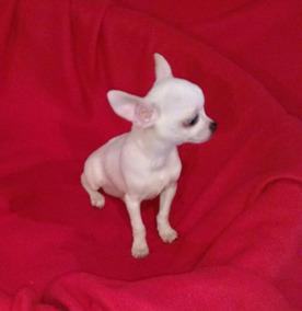 Chihuahua Macho Macho Chihuahua Mini Blanco ZXiwuOPkT