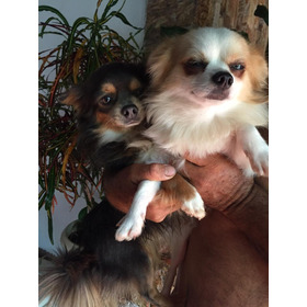 Chihuahua Micro