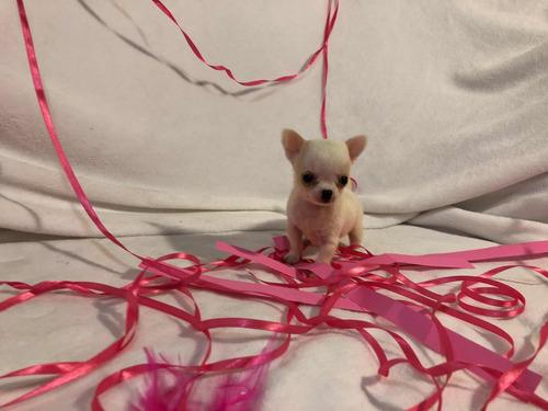 chihuahua micro mini blanca
