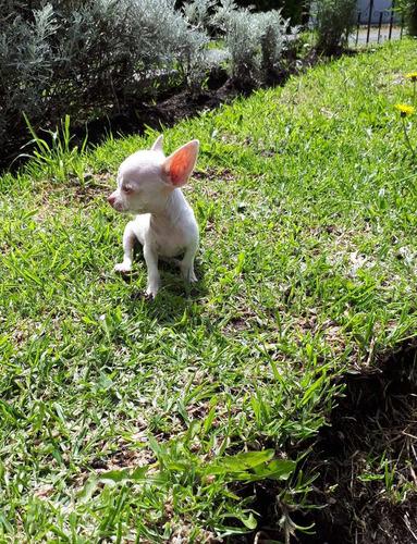 chihuahua miniatura de cartera los toy cabeza de manzana