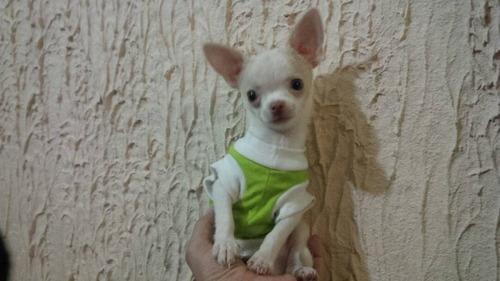 chihuahua super mini 100% puro fcv - pedigrí (macho)