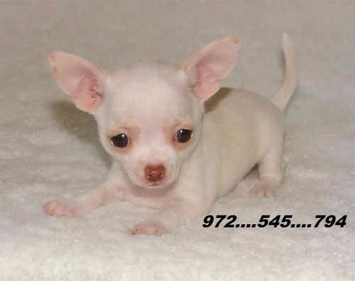 chihuahuas  blancos  cabeza  de manzana  miniaturas