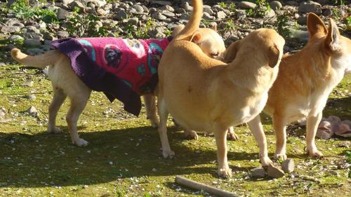 chihuahuas cachorros de dos meses