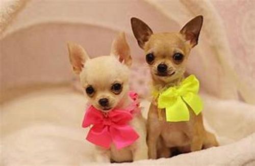 chihuahuas cachorros hermosos