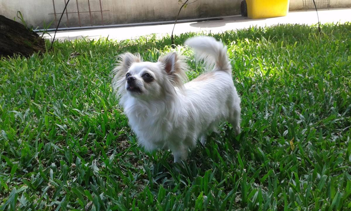 Chihuahua de pelo largo criadero