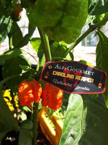 chiles carolina reaper, semillas y plantulas