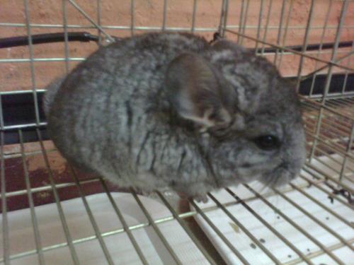 chinchilla gris