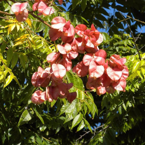 chinese flame tree árvore  koelreuteria 10 sementes p/ mudas