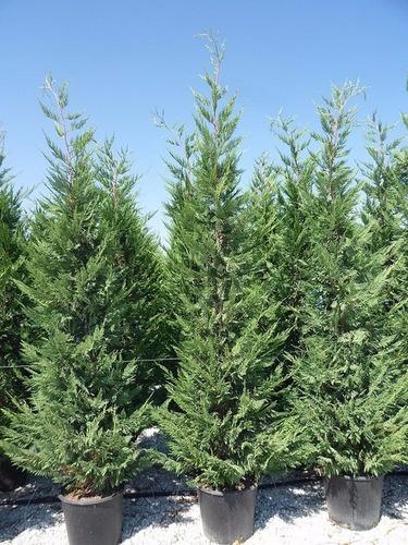 cipres leylandi pino para cerco vivo puerto jardin  envios
