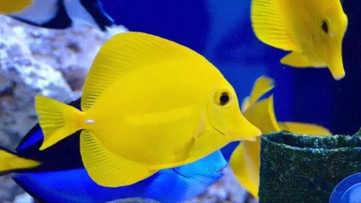 Cirujano amarillo convive con pez payaso peces for Jaulas para cria de peces