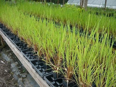 citronela - cymbopogon winterianus - 03 mudas promoção