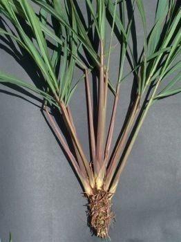 citronela cymbopogon winterianus 3 mudas