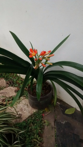 clivias de flor naranja. envase de 5 lts.2 y 3 u. por maceta