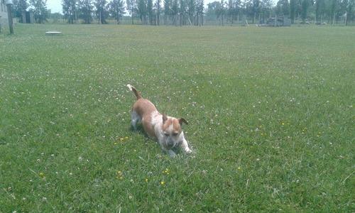 club de campo canino -  razas chicas