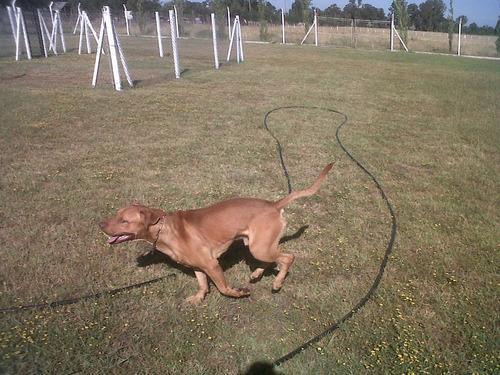 club de campo canino - razas peligrosas - tomamos  pit bull