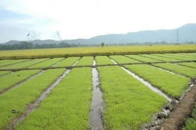 coalición tiene en fantino finca de arroz 356 tareas $ 75