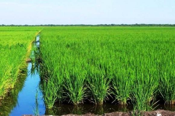 coalición vende 500 tareas sembrada de arroz esperanza mao