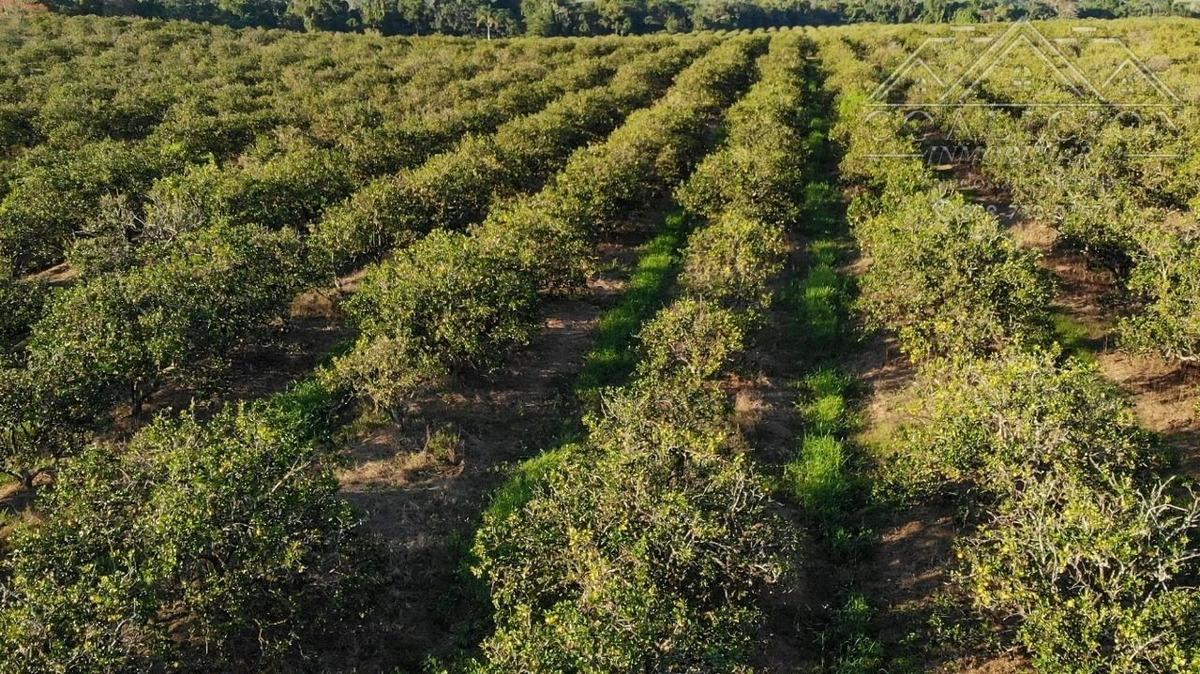 coalición vende 5,300 tareas,1200 sembrada de naranja d jugo