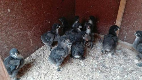 cochinchinos gigantes s/30.00 negros gallinas gallos pollos