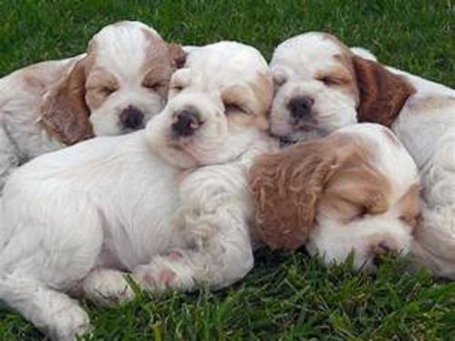 cocker spaniel cachorros hermosos