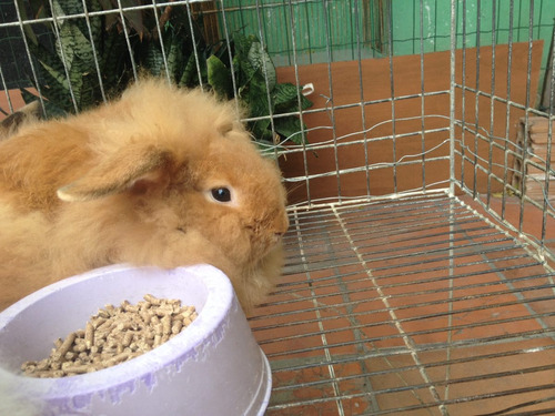 coelhos mini lion