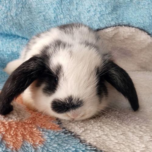 coelhos mini lop
