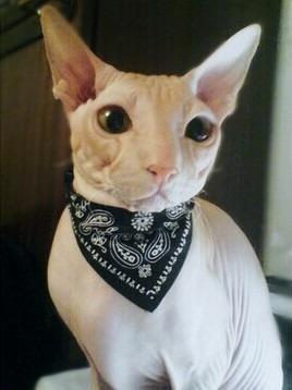 coleira com lenço - bandana - cães e gatos - tam p