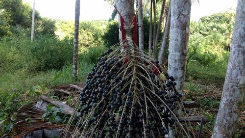 colheitadeira de açaí trajano - colhedora dos cachos de açaí